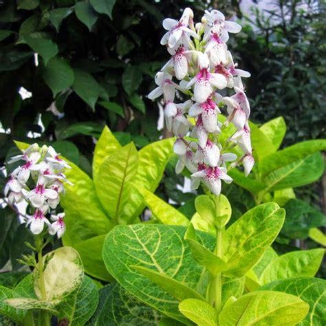 mengenal jenis bunga melati jepang