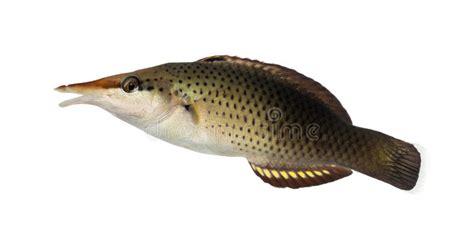 bird wrasse gomphosus varius fish profile bird wrasse female gomphosus varius stock photo image
