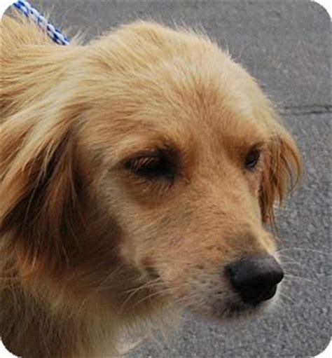 golden retriever rescue kentucky ky golden retriever mix meet caramel a for adoption