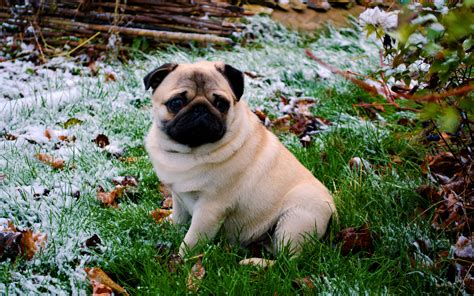pug desktop wallpaper free hd pug wallpapers pixelstalk net