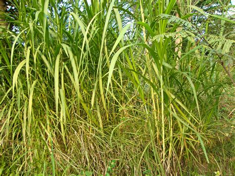 my people my world elephant grass for pet animals