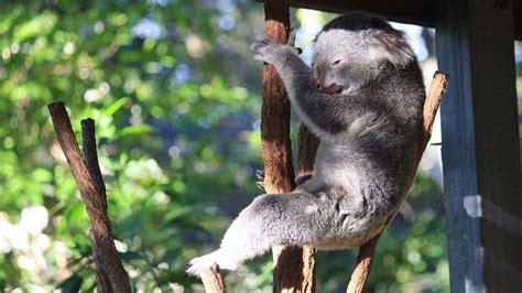 lone pine koala sanctuary brisbane cuddle  koala