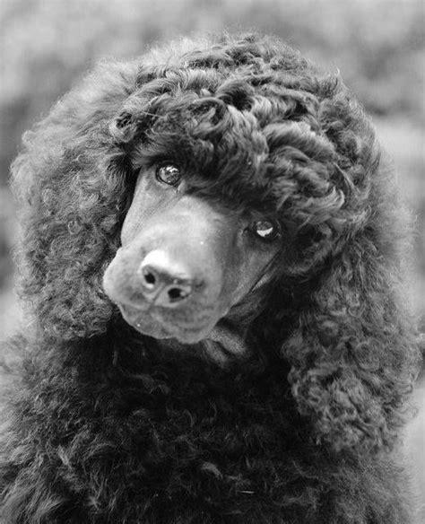 Him Kaos T Shirt Summer Time Dtg 122 best images about black standard poodles on