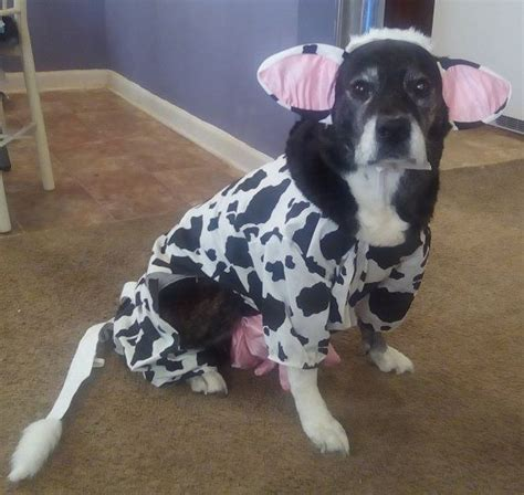 cow puppy 17 best ideas about cow costumes on toddler cow costume costume and