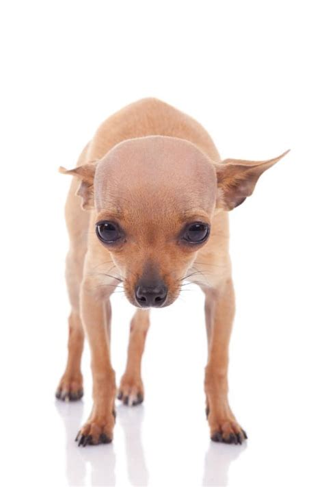 how to a chihuahua to be a therapy why do chihuahuas shiver