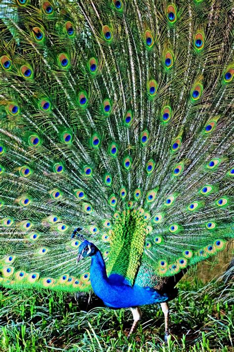 Peacock L by Peacock Images Free Allfreshwallpaper