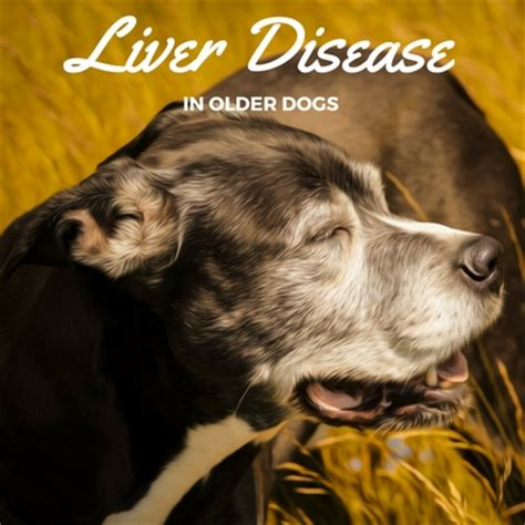 liver disease in dogs liver disease in dogs caring for a senior