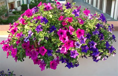 surfinie fiori surfinia