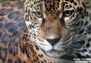 Jaguar Enemies Rainforest Predators