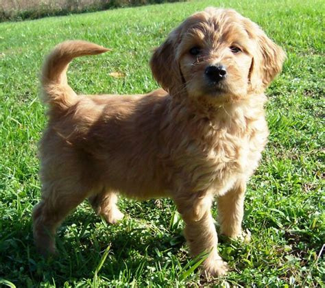doodle puppy animal encyclopedia goldendoodle