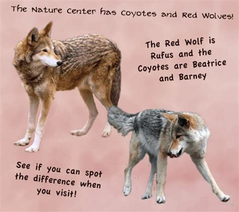wolf vs wolf facts 20 facts about the wolf facts net