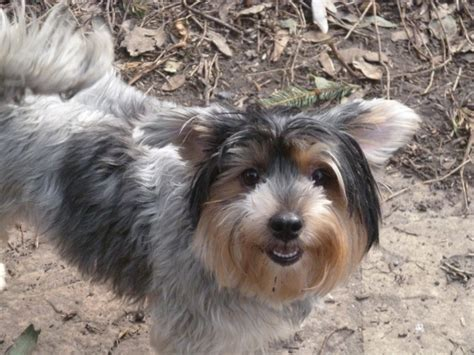 tri color yorkie tri color yorkie orpington kent pets4homes