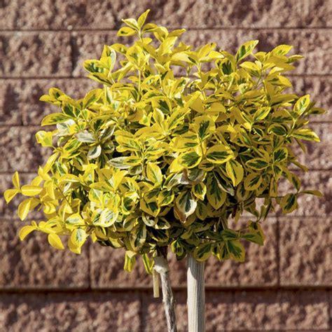 Arbuste En Pot Pour Terrasse Plein Soleil by Arbuste Pour Balcon Et Terrasse Liste Ooreka