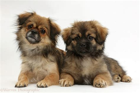 and puppies dogs tibetan spaniel and puppy photo wp38205