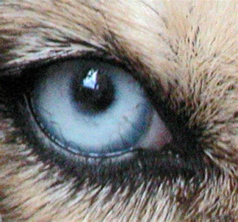 dogs vision managing eye conditions in dogs symptoms types causes and suggested treatment pethelpful