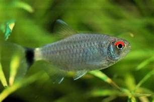 Small Bathroom Ideas Color caretaking breeding and feeding the red eyed tetra