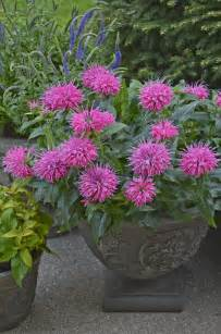 overwintering pretty potted perennials and shrubs proven