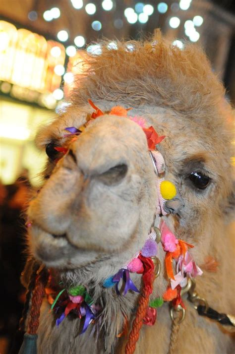christmas camels south tyneside to celebrate in style with annual camel parade chronicle live