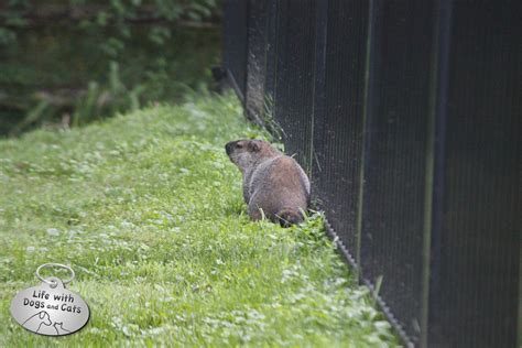 i have a groundhog in my backyard i have a groundhog in my backyard 28 images groundhog