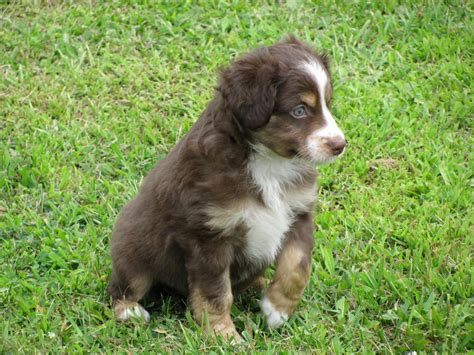 australian shepherd colors story aussies puppy colors