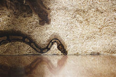 how long do ball pythons live my pet python