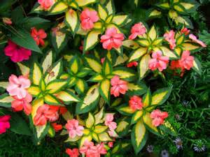 sunpatiens colors image gallery sun patients