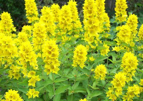 stauden gelb winterhart lysimachia punctata 1 felberich eine sorte der heimischen