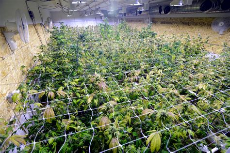 plants that grow in rooms grow rooms for marijuana the