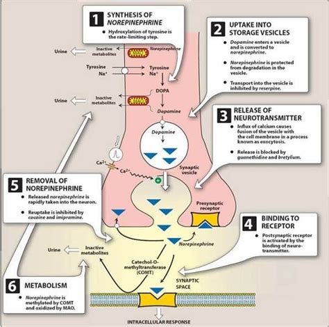 Detox Epinephrine by Steps Of Neurotransmission Adrenergic Receptors