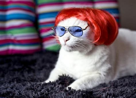 cat wig cats with wigs 17 pics