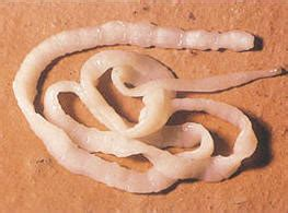 symptoms of roundworms in dogs the effect worms in dogs can on the animal 226 s mood pets best rx health