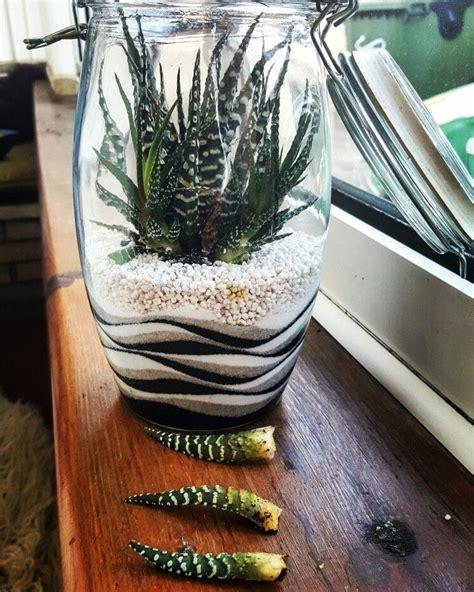 haworthia zebra plant garden vasos de plantas