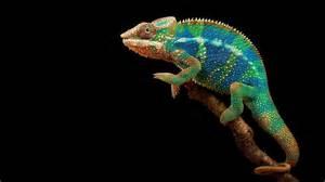 colorful chameleon chameleon archives hdwallsource hdwallsource