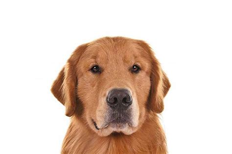 what colors do golden retrievers come in 25 best ideas about search and rescue dogs on sad stories touching
