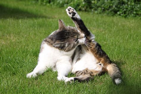 losing balance in hind legs why your cat is losing hair on hind legs