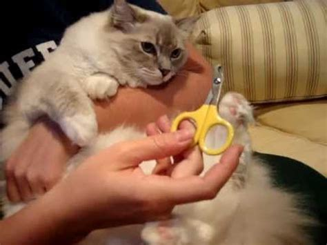 ragdoll nails 1000 images about cat grooming supplies on