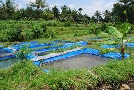 Bibit Ikan Nila Ukuran 3 Jari budidaya tumbuh hijau dan lestari ikan nila yang ber nila