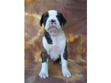 boxer puppies for sale missouri boxer puppies in missouri