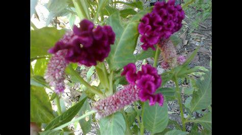 tanaman hias bunga jengger ayam celosia cristata youtube
