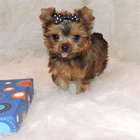 teacup silky yorkie for sale golden yorkie puppy for sale teacup yorkies sale