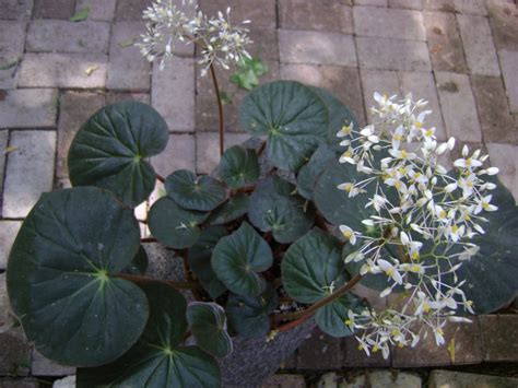 rhizomatous begonias toni s begonias episcias