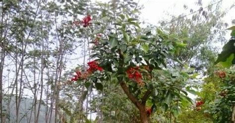 Jual Bibit Bonsai Semarang jual pohon dadap merah di semarang jogja arya flower