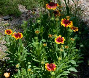 Indian Flower Garden Indian Blanket Auntie Dogma S Garden Spot