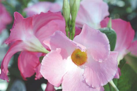 sun parasol 174 mandevilla pink sunfire nurseries