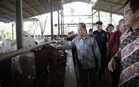 Bibit Sapi Wagyu wow kus ini kembangkan sapi unggul produktif berdaging empuk