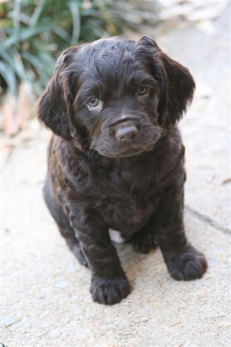 17 Best images about Boykin Spaniel!!