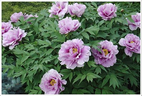 1000 images about tree peonies on pinterest gardens