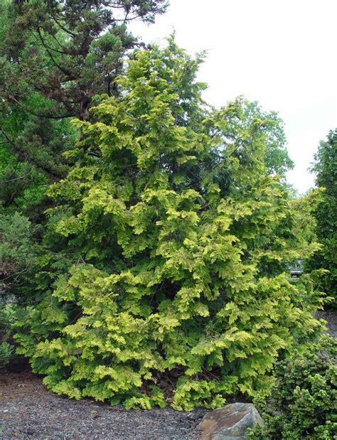 hinoki cypress crippsii garden housecalls