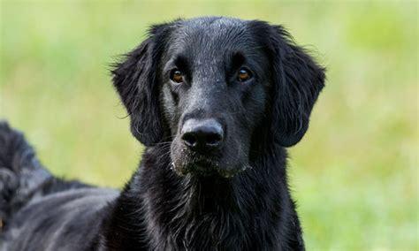 fekete golden retriever flat coated retriever kutyak 246 zpont
