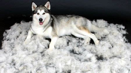 How Can I Stop Cat From Shedding So Much by Pin By Chelsey Myra On Must Dogs